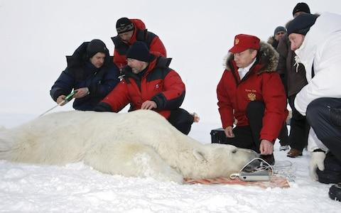 Vladimir Putin measures a tranquillised polar bear with scientists in Franz Josef Land in 2010 - Credit: Alexey Nikolsky/AFP/Getty