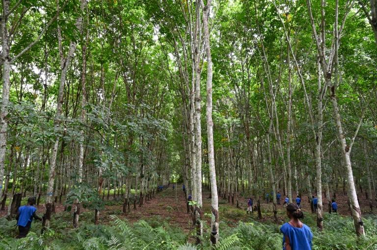 Ivory Coast's rubber plantations are being accused of damaging the environment and worsening food security