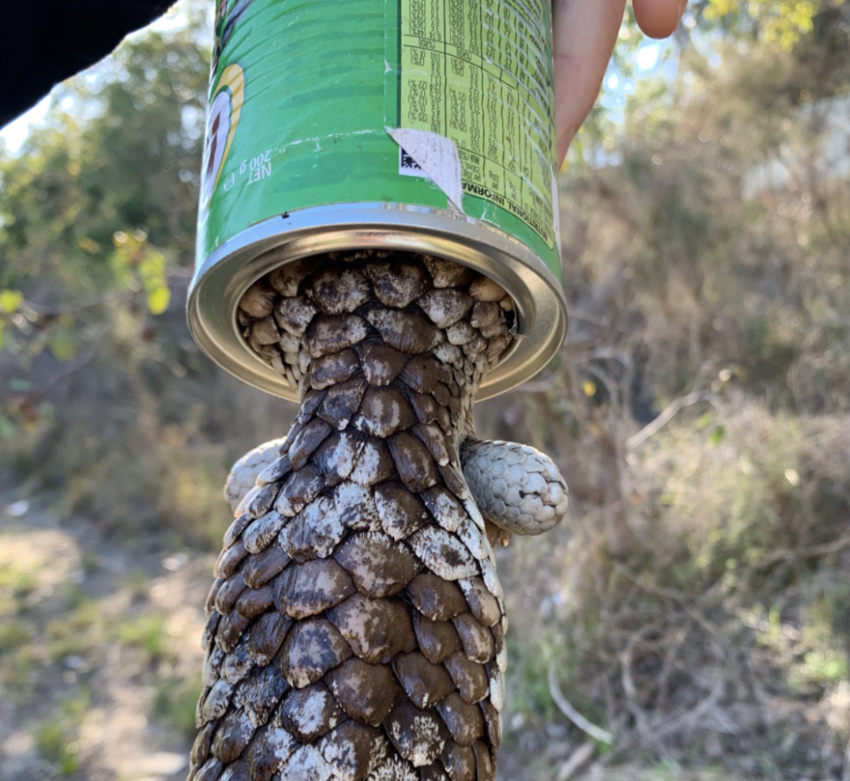 A bobtail lizard is seen with its head trapped in a tin of Nestle Milo.