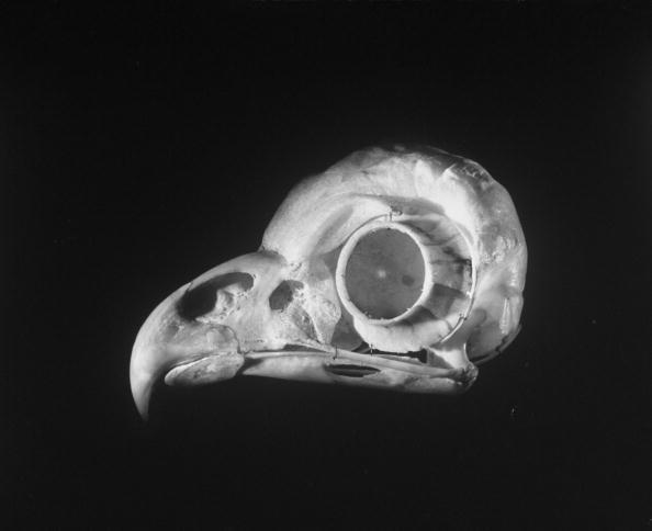 Sep 01, 1951 - This unnerving 1951 Andreas Feininger photograph shows the skull of a common owl, with its prominent circular bone casing that helps protect the bird's eye -- proportionately much larger than the eyes of humans and most other creatures. Photo: Andreas Feininger/Time & Life Pictures/Getty Images.