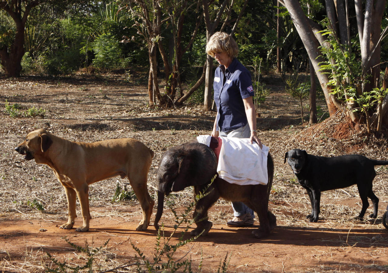 In this photo taken Monday, Oct. 8, 2012 seven-and-a-half month old orphaned elephant calf named Moses takes his daily walk with pet dogs Barney, left, Bagheera right, and foundation owner, Jenny Webb, center, at their home in Lilongwe, Malawi. Moses was found alone and close to death in the Vwaza Wildlife Reserve. He has been adopted by the Jumbo Foundation where he is cared for and is being raised by humans. (AP Photo/Denis Farrell)