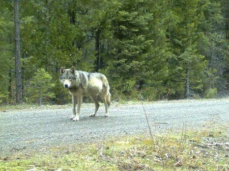 A wolf roaming the same area as OR 7 is seen in this undated Oregon Fish & Wildlife handout photo taken with a remote camera
