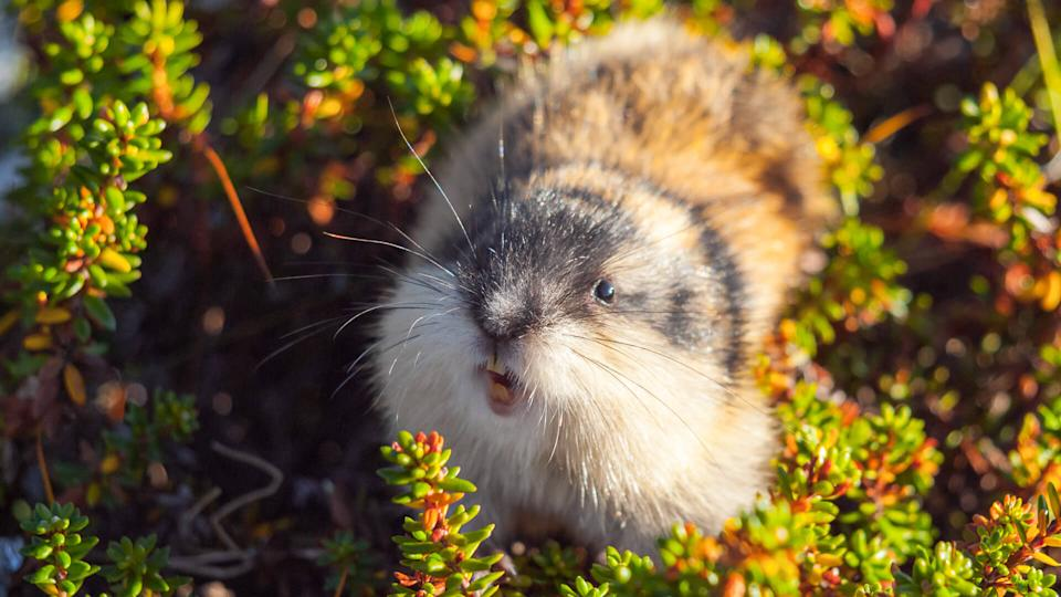 Lemming animal
