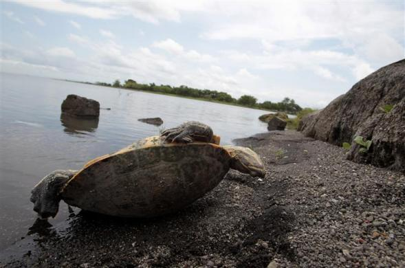 A dead tortoise is seen near the shores of Lake Xolotlan, also known as Lake Managua, which has an area of approximately 1000 sq km and has been receiving raw sewage from Managua's one million residents since 1920, in Managua June 5, 2012.