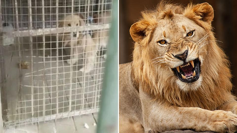 A golden retriever (left) was spotted in a lion enclosure at a zoo in China. Source: South China Morning Post/Getty Images, file