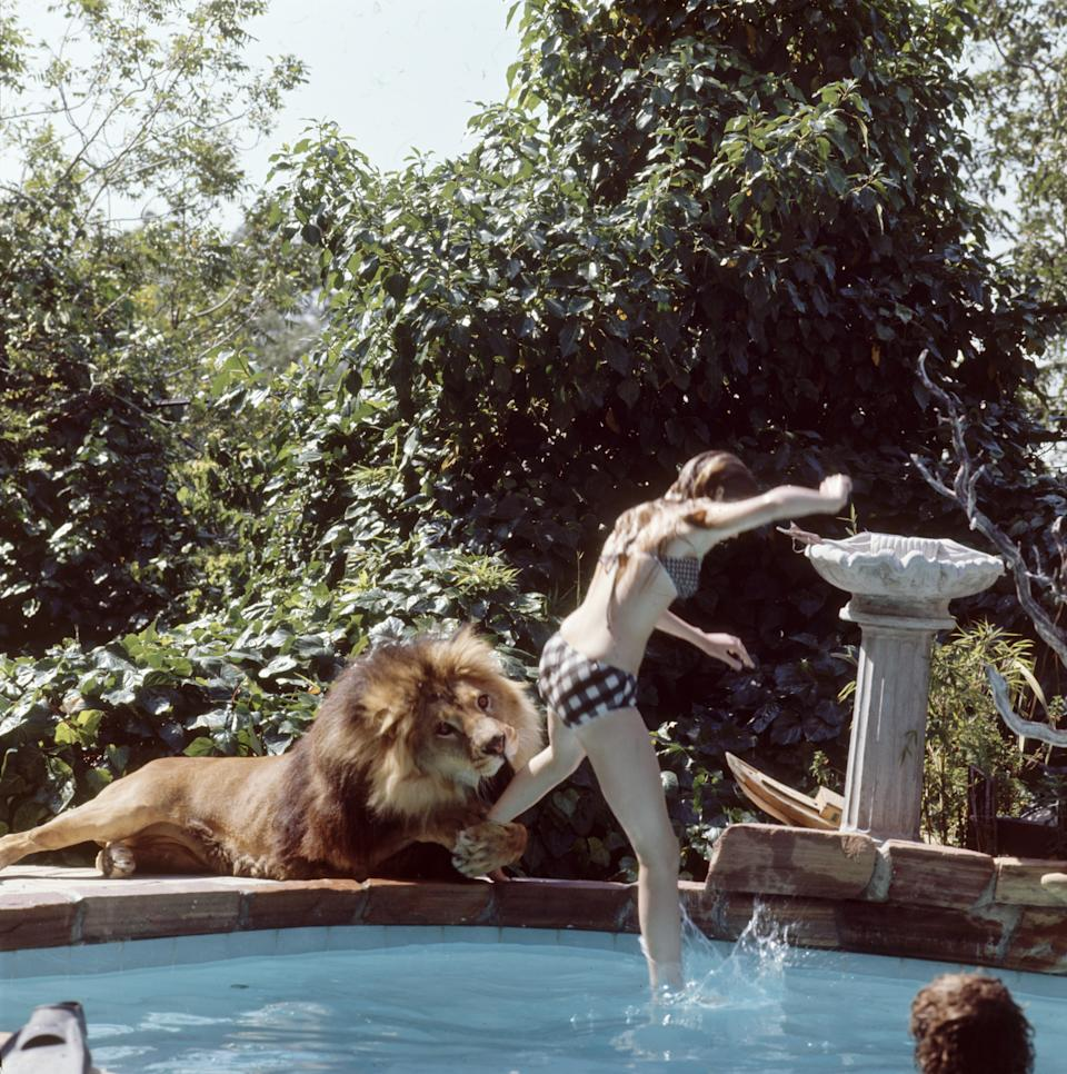 American future actress Melanie Griffith jumps into a swimming pool as her pet lion Neil grabs her leg and goes to bite her leg, Sherman Oaks, California, May 1971. (Photo by Michael Rougier/The LIFE Picture Collection via Getty Images)