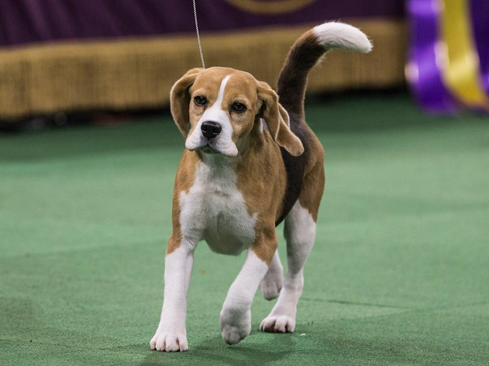 Miss P was named best in show in the 2015 Westminster Dog Show, in a surprise win.