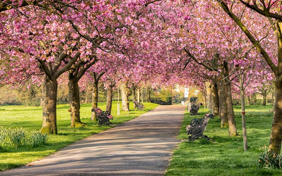 Cherry blossom in Greenwich Park - Getty