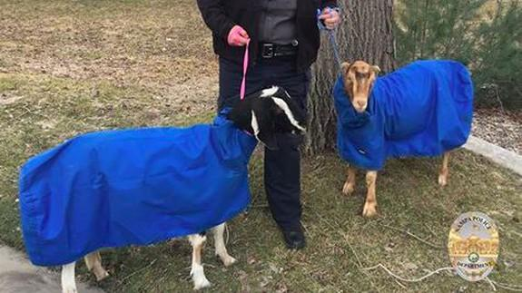 Someone lost a pair of Snuggie clad goats  but it s OK because they were  found. Someone lost a pair of Snuggie clad goats  but it s OK because