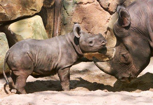 A baby Rhino and it's mother play at a zoo in Hannover, Germany. Jochen Luebke/dapd/APJochen Luebke/dapd