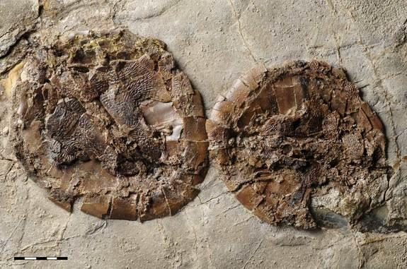 A mating pair of the extinct turtle found at Messel Pit. Researchers suspect the turtles died as they were having sex and sinking to deeper layers of the lake where toxic gases were likley present.