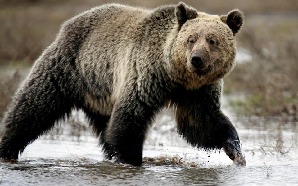 A grizzly bear in the wild - Reuters