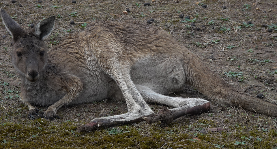 A kangaroo lying on its side with burnt feet after the Perup fire. Source: Bill Smart