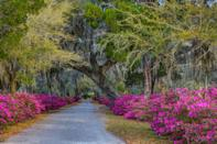 <p>While it's slightly preferred to plant this flowering shrub in fall, azaleas can also be planted in spring, after the last frost. You'll want to space azaleas 2 to 6 feet apart, depending on their size, and plant where they will receive at least 6 hours of full sun. It's also important to plant new plants so that their top roots are at soil level or just below to avoid root rot. </p>