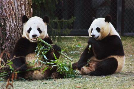 Giant pandas Tian Tian (L) and Mei Xiang snack on bamboo at the Washington National Zoo in this January 16, 2002 file photo. REUTERS/Hyungwon Kang/Files