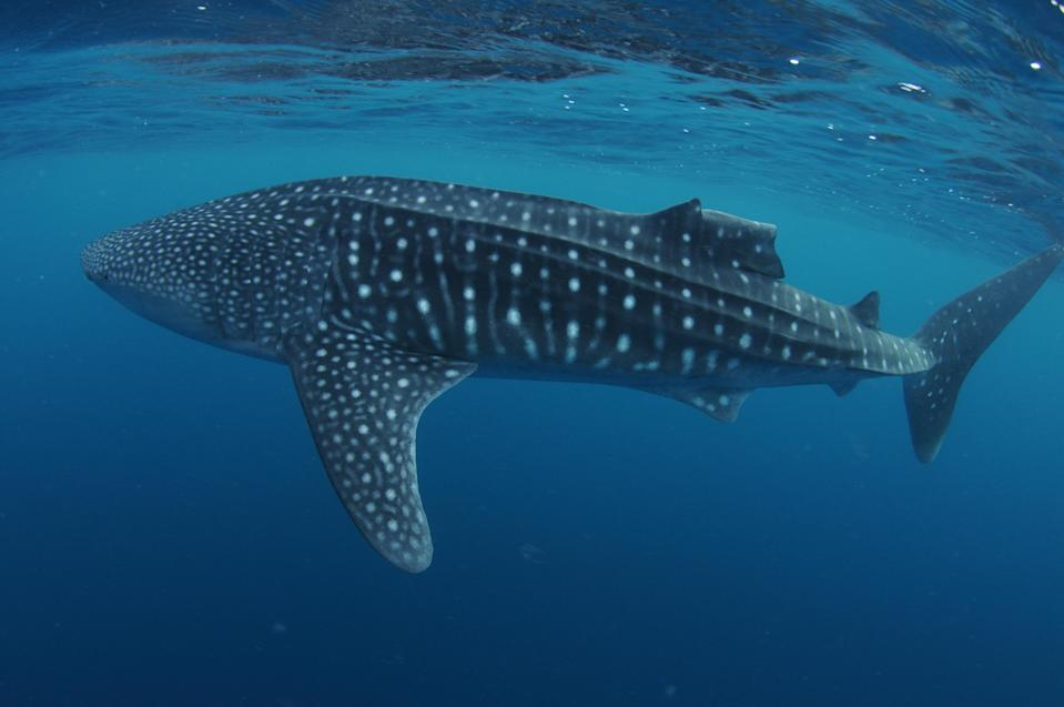 An injured whale shark (Marine Conservation Society Seychelles/PA)