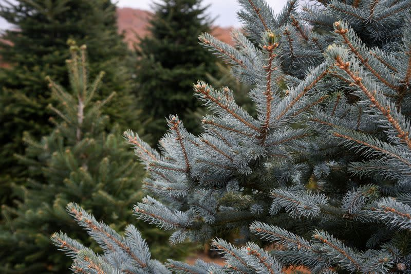 Fir trees, grown to be sold as Christmas trees at a farm in the village of Taxiarchis, during the coronavirus disease (COVID-19) pandemic, in the region of Chalkidiki