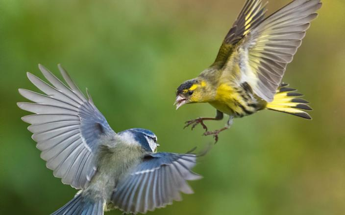 The menu also included siskins - here one is seen fighting a blue tit in mid-air - Andrew Fusek Peters/SWNS