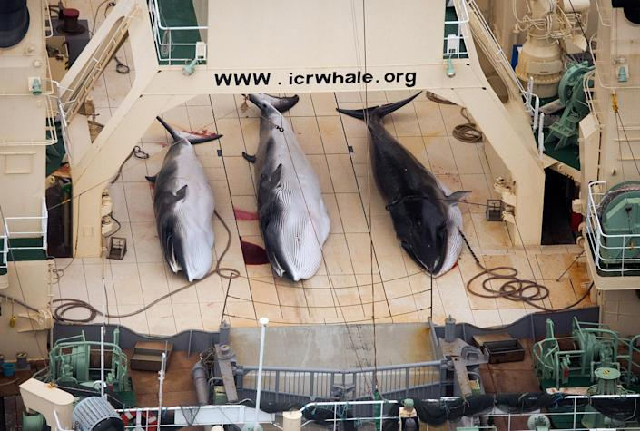 FILE - In this Jan. 5, 2014 file photo and released by Sea Shepherd Australia, three dead mink whales lie on the deck of the Japanese whaling vessel Nisshin Maru, in the Southern Ocean. The greatest threat to Japan's whaling industry may not be the environmentalists harassing its ships or the countries demanding its abolishment, but Japanese consumers. The amount of whale meat stockpiled for lack of buyers has nearly doubled over 10 years, even as anti-whaling protests helped drive catches to record lows. More than 2,300 mink whales worth of meat is sitting in freezers while whalers still plan to catch another 1,300 whales per year. Uncertainty looms ahead of an International Court of Justice ruling expected Monday, March 27, 2014 over a 2010 suit filed by Australia, which argues that Japan's whaling - ostensibly for research - is a cover for commercial hunts. (AP Photo/Sea Shepherd Australia, Tim Watters) NO SALES