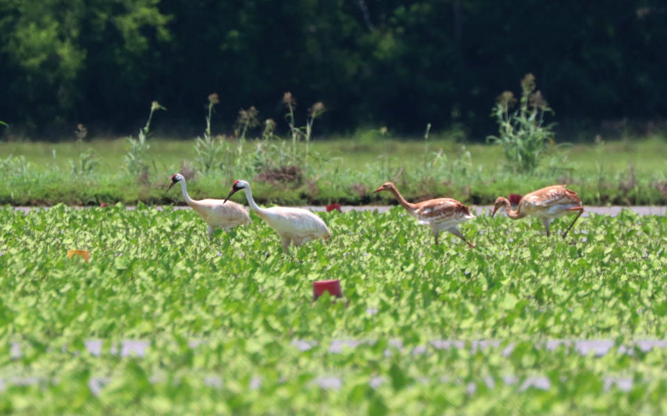 In this photo provided by the Louisiana Department of Wildlife and Fisheries a family of whooping cranes, including two juveniles, walk in a crawfish pond in Avoyelles Parish Bunkie, La., on Wednesday, June 16, 2021. The mother, one of Louisiana's oldest whooping cranes hatched her first chicks this year, and 24 mating pairs nearly doubled the previous state record for the world's rarest cranes. But state biologists say that while 14 hatchlings pecked their way out of eggs this year in Louisiana, only four, including these two, are still alive. (Gabe Giffin/Louisiana Department of Wildlife and Fisheries via AP)