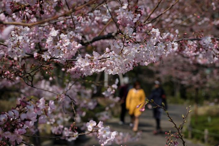 Pedestrians admire cherry blossoms in the Japanese capital Tokyo on March 19, 2020. Japan's weather agency declared the earliest start to the season since statistics began in 1953 after forecasters monitoring trees spotted the first signs of bloom, heralding a period when Tokyo's parks, temple grounds, schools and streets explode in pinks and whites.