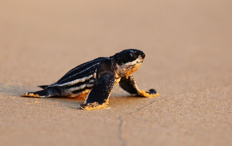 A newly-hatched baby leatherback sea turtle makes its way into a sea for the first time at a beach in Phanga Nga district