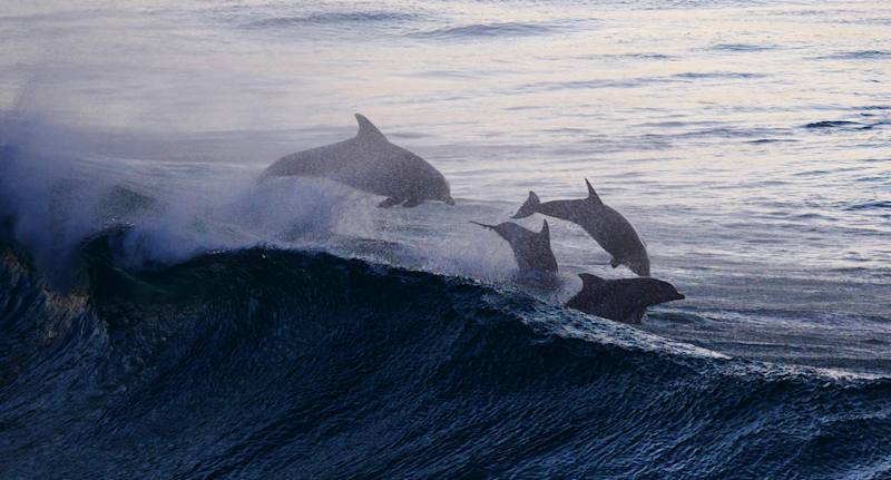 Dolphins in the wild leaping over surf