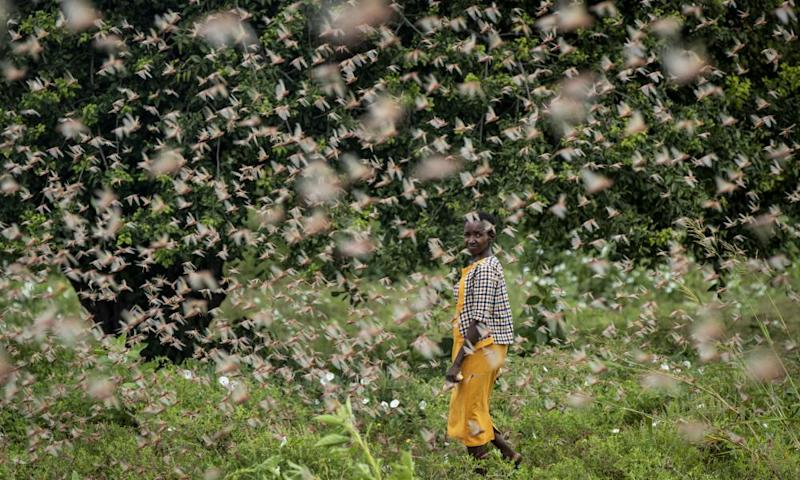 A farmer looks back as she walks through swarms of desert locusts feeding on her crops, in Katitika village, Kitui county, Kenya.