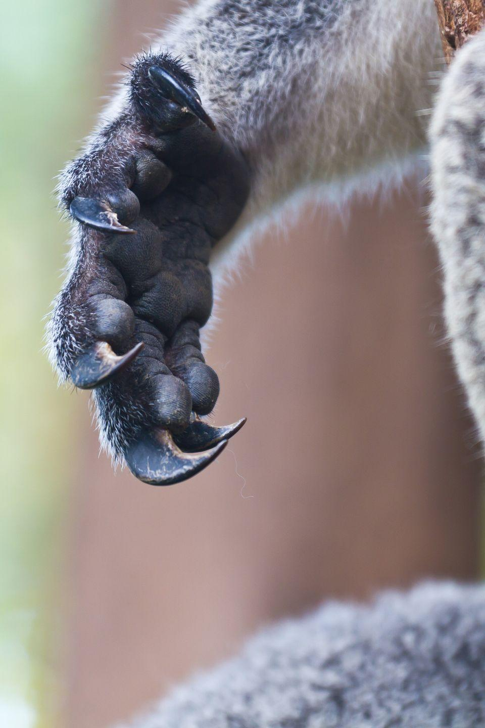 <p>In 1996, a team of anatomists at the University of Adelaide in Australia discovered that koala and human fingerprints can easily be mistaken for one another, likely due to the fact that koalas are ancestors of primates.</p>