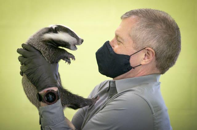 Scottish Liberal Democrat leader Willie Rennie handles a six-week-old badger during a visit to the SSPCA National Wildlife Rescue Centre at Fishcross during campaigning for the Scottish Parliamentary electio