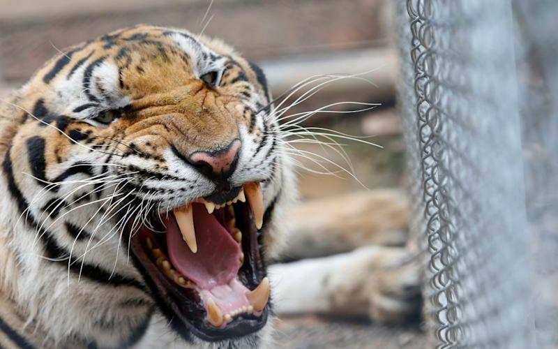 One of the 147 confiscated tigers removed from the controversial Tiger Temple - REX