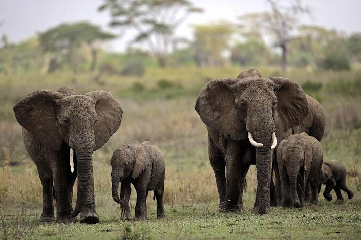 The environmental group WWF estimated that around 25,000 African elephants were hunted for ivory in 2011 (AFP Photo/Tony Karumba)