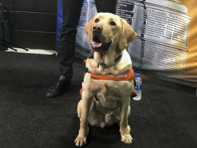"""Sunny, the """"Today"""" show dog, watches NHL Stanley Cup Final media day festivities in Boston, Sunday, May 26, 2019. The 18-month old Labrador is training to be a guide dog. (AP Photo/Stephen Whyno)"""