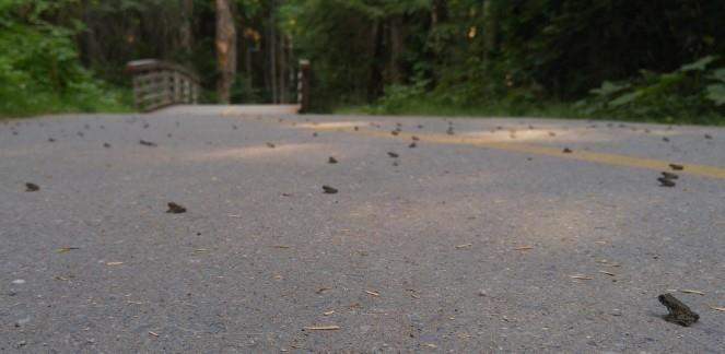 Migration begins: blame toadlets if ground seems to move in Whistler, B.C.
