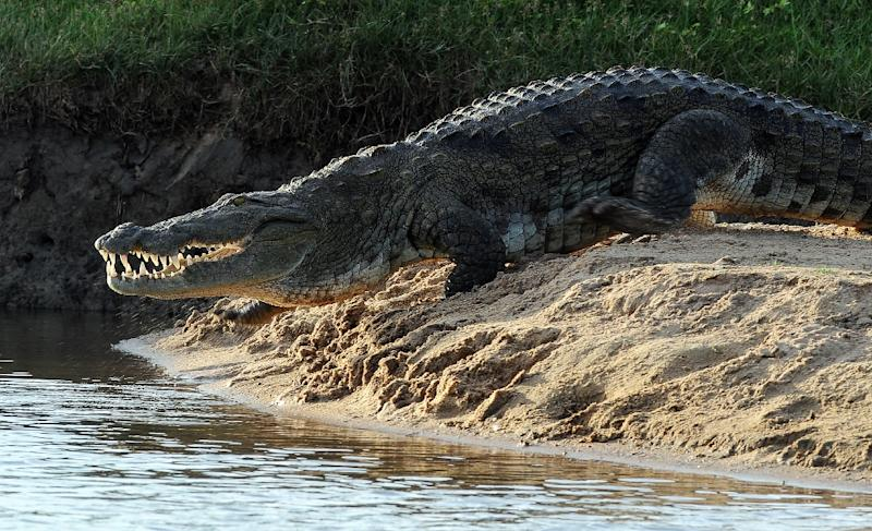 Crocodile attacks are rare in Sri Lanka but earlier this month wildlife authorities reported that a crocodile had seriously injured a wild elephant in the south of the island