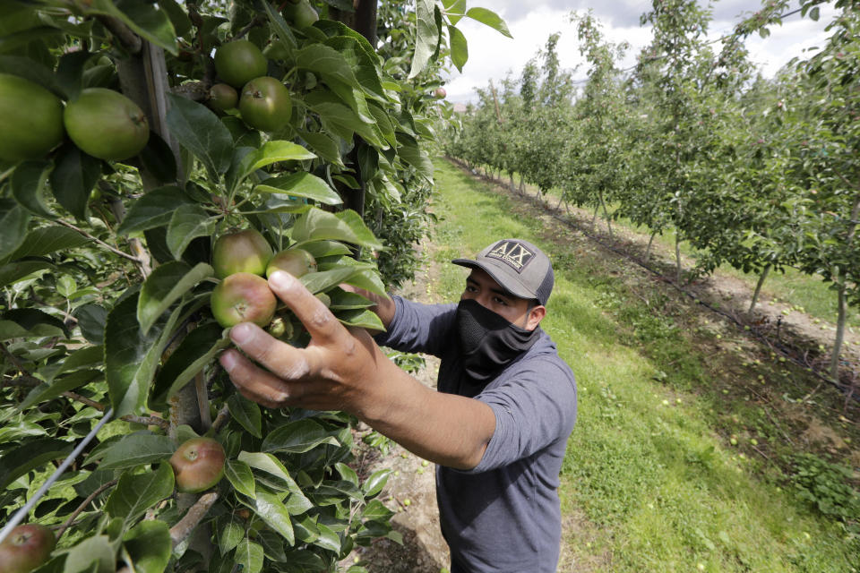 FILE - In this June 16, 2020, file photo, orchard worker Francisco Hernandez reaches to pull honeycrisp apples off a tree during a thinning of the trees at an orchard in Yakima, Wash. Many U.S. health centers that serve agricultural workers across the nation are receiving COVID-19 vaccine directly from the federal government in a program created by the Biden administration. But in some states, farmworkers are not yet in the priority groups authorized to receive the shots. (AP Photo/Elaine Thompson, File)