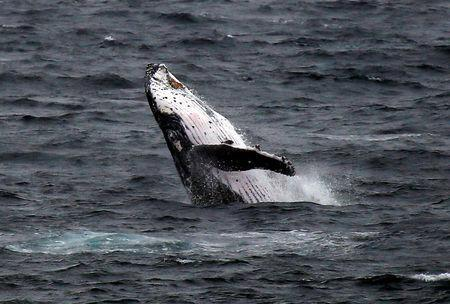 A humpback whale breaches off the coast at Clovelly Beach in Sydney, Australia, June 19, 2016. REUTERS/David Gray/File Photo