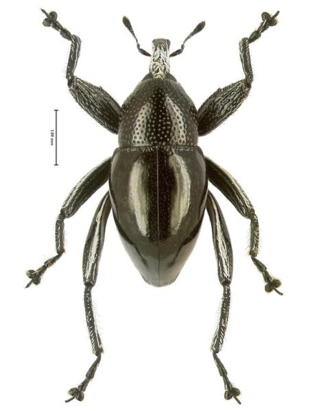 "This is a picture of Trigonopterus moreaorum, which is named after the popular Papuan family surname ""Morea."""