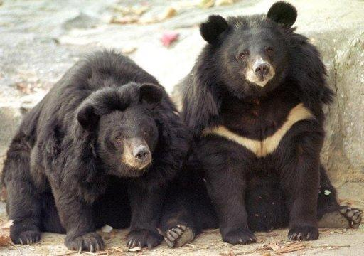 Two black bears at Kwachon Zoo in South Korea