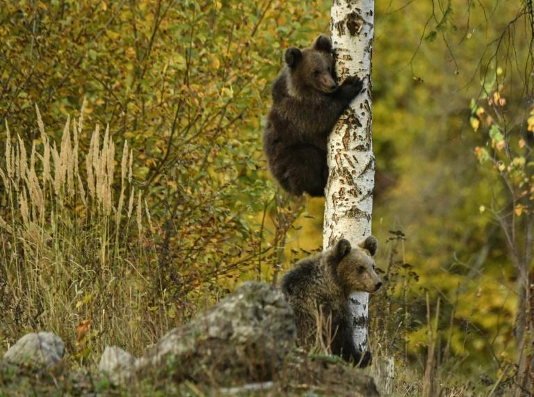 The census project also entails the creation of a bear sanctuary.