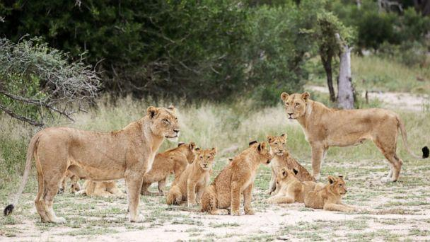 PHOTO: A pride of lions is seen at a game reserve adjacent to the world-renowned Kruger National Park in Mpumalanga, South Africa, April 12, 2019. (Siphiwe Sibeko/Reuters, FILE)