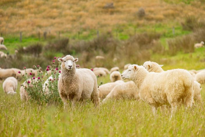 Scientists from University College London identified sheep as being at-risk of infection. (Stock, Getty Images)