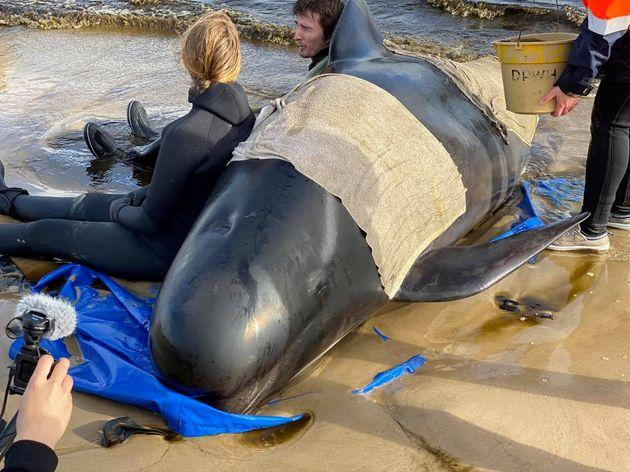Whale rescue efforts take place at Macquarie Harbour in Tasmania.