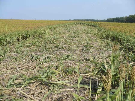 Damage to a farmer's field by feral swine is pictured in this undated handout from the U.S. Department of Agriculture, Animal and Plant Health Inspection Service.