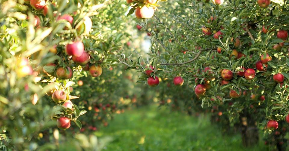 """<span class=""""caption"""">You can plant a seed from a delicious Honeycrisp apple from the grocery store — but the fruit that comes from that tree will not be Honeycrisp. </span> <span class=""""attribution""""><span class=""""source"""">(Shutterstock)</span></span>"""