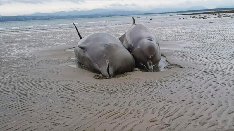 Seven bottlenose whales have died after getting stranded on Rossnowlagh beach in Donegal. (Nicola Coyle/IWDG)
