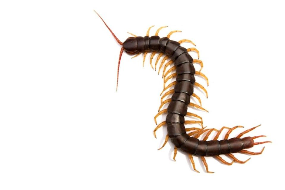Centipedes: They bite, but don't kill them. Here's why