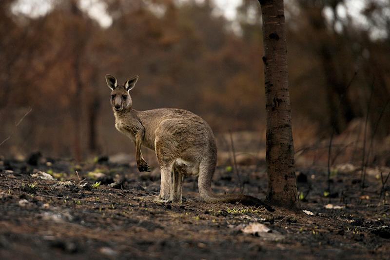 Australia's Kangaroo Island Plantation Suspends Shares, Says Most Trees Not Productive After Fires
