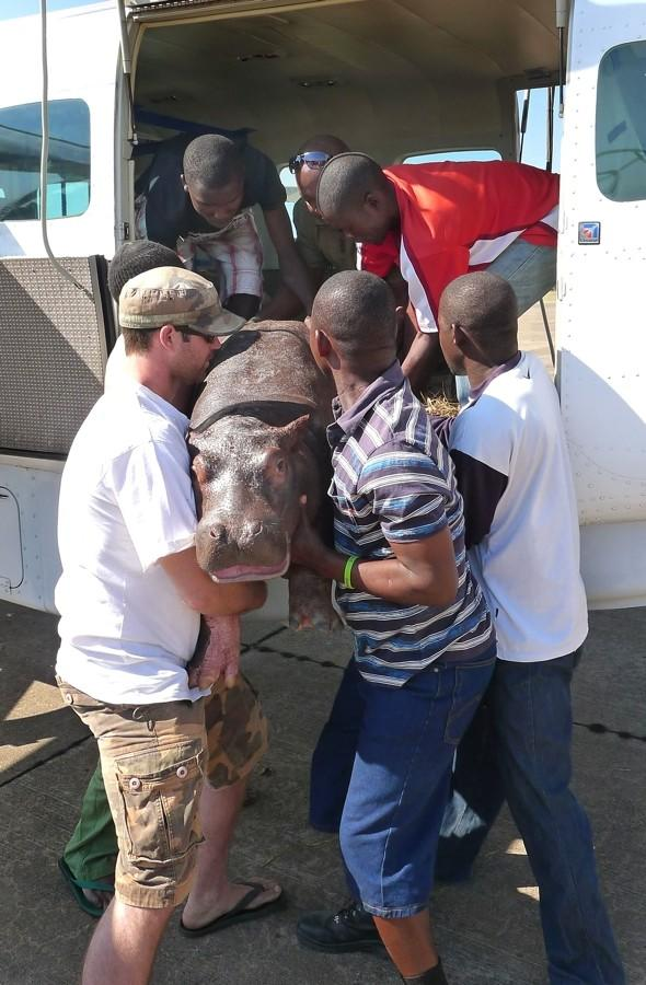 Orphaned baby hippo flies by passenger plane to new home