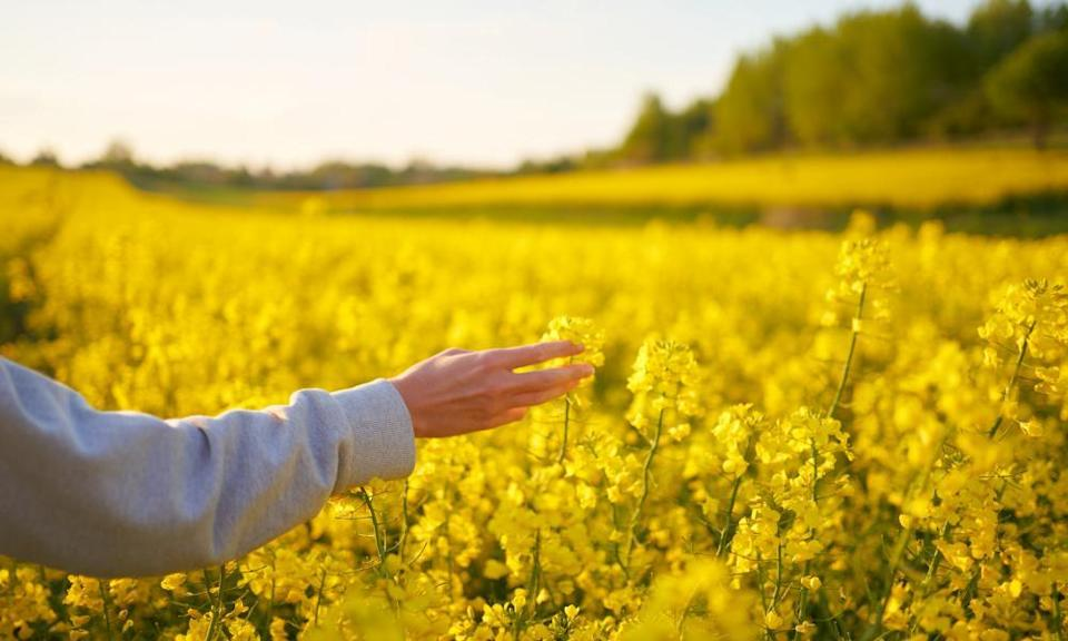 Female hand touching yellow rapeseed flowers during walking through field on sunset.